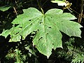 Devil's club leaf.jpg