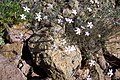 Dianthus charidemi.jpg