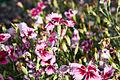 Dianthus chinensis-IMG 9238.jpg