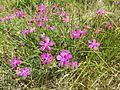 Dianthus deltoides sl7.jpg
