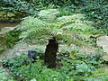 Dicksonia antarctica - antic jardí botànic P1250820.jpg