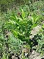 Dictamnus albus sl105.jpg