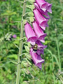 毛地黄 (Digitalis purpurea)