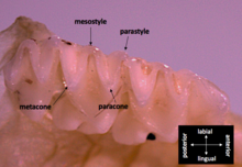 The ventral view of microbat teeth