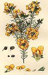 Dillwynia retorta-Minchen