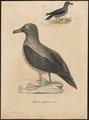 Diomedea fuliginosa - 1700-1880 - Print - Iconographia Zoologica - Special Collections University of Amsterdam - UBA01 IZ17900164.tif