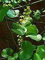 Dioscorea elephantipes 002.JPG