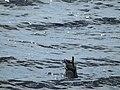 Diving Ducks - panoramio.jpg