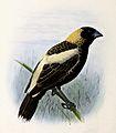 Dolichonyx oryzivorus 1876.jpg