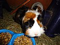 Domesticated guinea pigs eating.jpg
