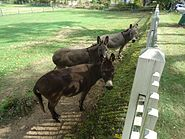 Donkeys on a farm in Oldwick New Jersey