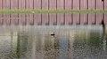 Double-crested Cormorant (Phalacrocorax auritus) - Thunder Bay, Ontario.jpg