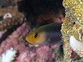 Doublestriped dottyback (Pseudochromis bitaeniatus) (46422564555).jpg