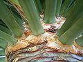 Dracaena draco (Puntagorda) 10 ies.jpg