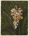 "Drawing, ""Cardamum"", 1865 (CH 18200589).jpg"