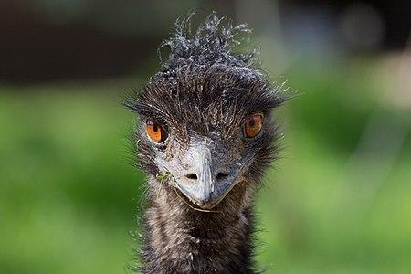 A staring emu (Dromaius novaehollandiae) at the Zoo of Madrid, Spain.