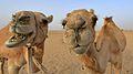 Dromedaries, UAE, March 2015.jpg