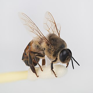 Drone (bee) male bee, wasp or hornet