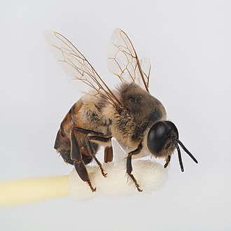 Drone (bee) - Drone bee