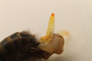 Drone (bee) - The everted penis, with the cornua in focus, resembling hooks.