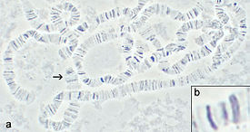Drosophila polytene chromosomes 2.jpg