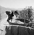 Druivendrager leegt zijn oogstkuip, Bestanddeelnr 254-4171.jpg