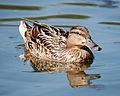Duck 3 (3589900400).jpg