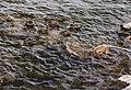 Ducks (36272493770).jpg