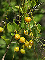 Duranta erecta (fruit).jpg