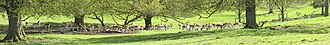 Deer park (England) - Image: Dyrham Park deer under trees, panorama