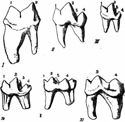 EB1911 Carnivora Fig. 2 - Left lower sectorial or carnassial teeth.jpg