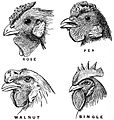 EB1911 Mendelism - four types of comb in some fowl breeds.jpg