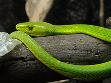 A bright green snake on a log
