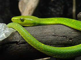 280px-Eastern_Green_Mamba_02 dans SERPENT