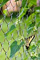 Eastern tiger swallowtail (28493746264).jpg