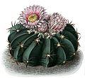 Echinocactus texensis BlKakteenT50.jpg