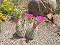 Echinocereus reichenbachii subsp. reichenbachii (15221434739).jpg