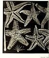 Echinodermes (astéries, ophiures et échinides) (1912) (21112539246).jpg