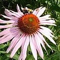Echniacea-bee.jpg