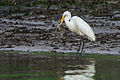Egret eating a Crab (7315924004).jpg