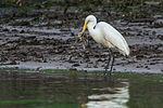 Egret eating a Crab (7315924004).jpg
