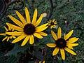 Eine gelbe Gartenblume (1).jpg