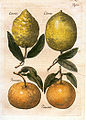Elßholtz Diaeteticon 1682 Zitrusfrüchte.jpeg