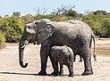 Elefantes africanos de sabana (Loxodonta africana), parque nacional de Chobe, Botsuana, 2018-07-28, DD 23.jpg