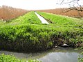 Elephant Grass, Stubbington Drove, Axbridge. - panoramio.jpg