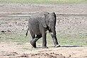 Elephant in Chobe National Park 01.jpg