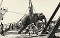 Elephant loading in Chittagong port 1960.jpg
