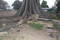 Elephanttree in Gambia.jpg