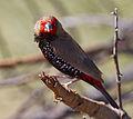 Emblema pictum -Karratha, Pilbara, Western Australia, Australia-8 (1).jpg
