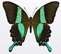 Emerald Swallowtail (Papilio palinurus) (8361383729).jpg